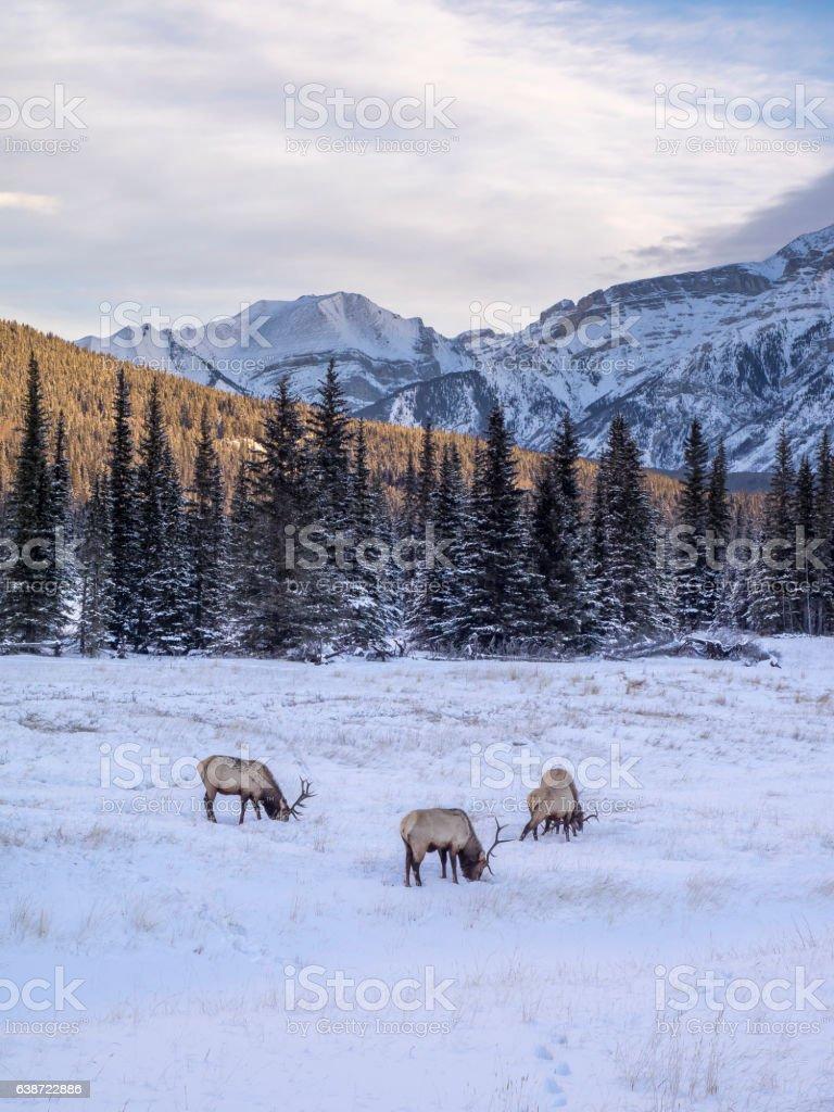 Elk in Banff National Park stock photo