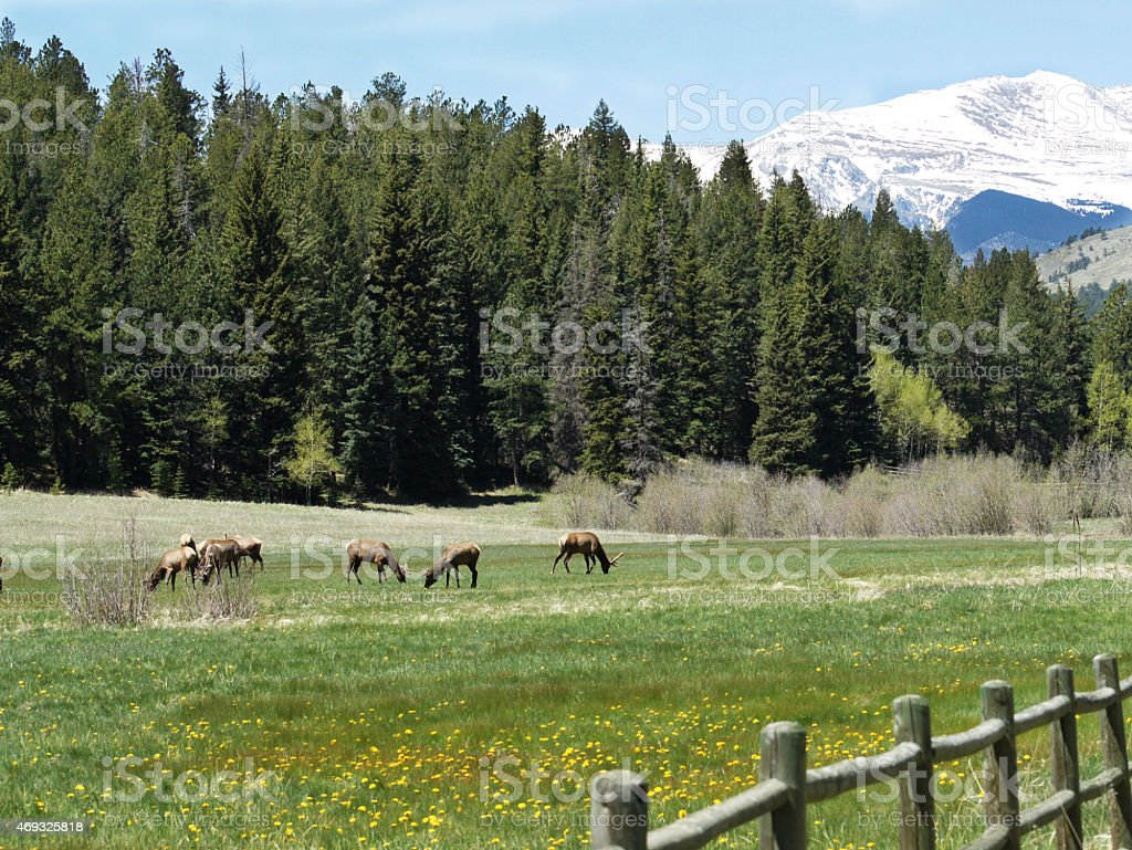 Elk in Colorado Field stock photo