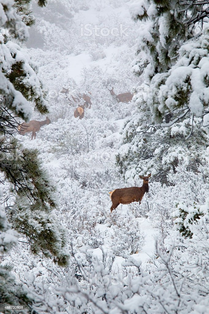 Elk in Deep Snow in the Pike National Forest stock photo