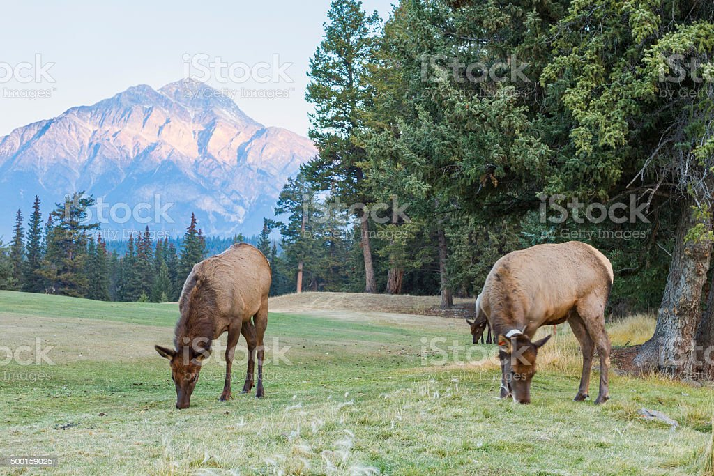 Elk in Jasper stock photo