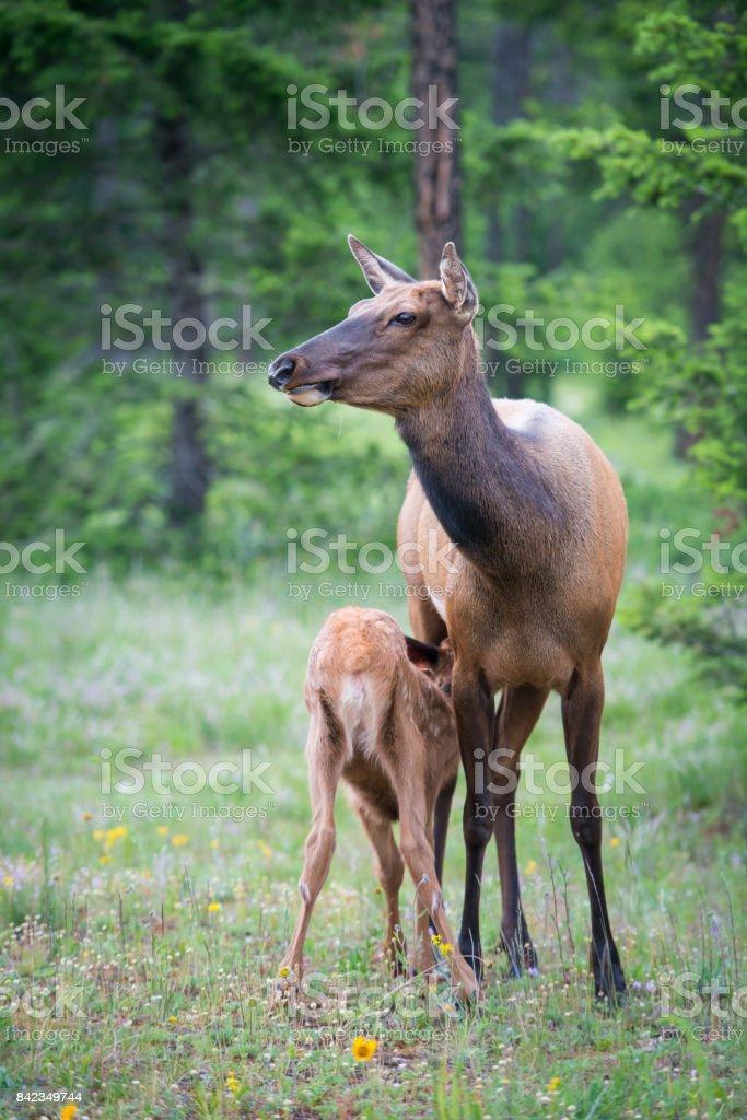 Elk in Jasper stock photo