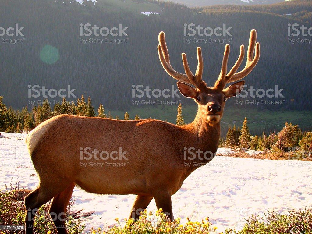 Elk in snow covered grassland stock photo