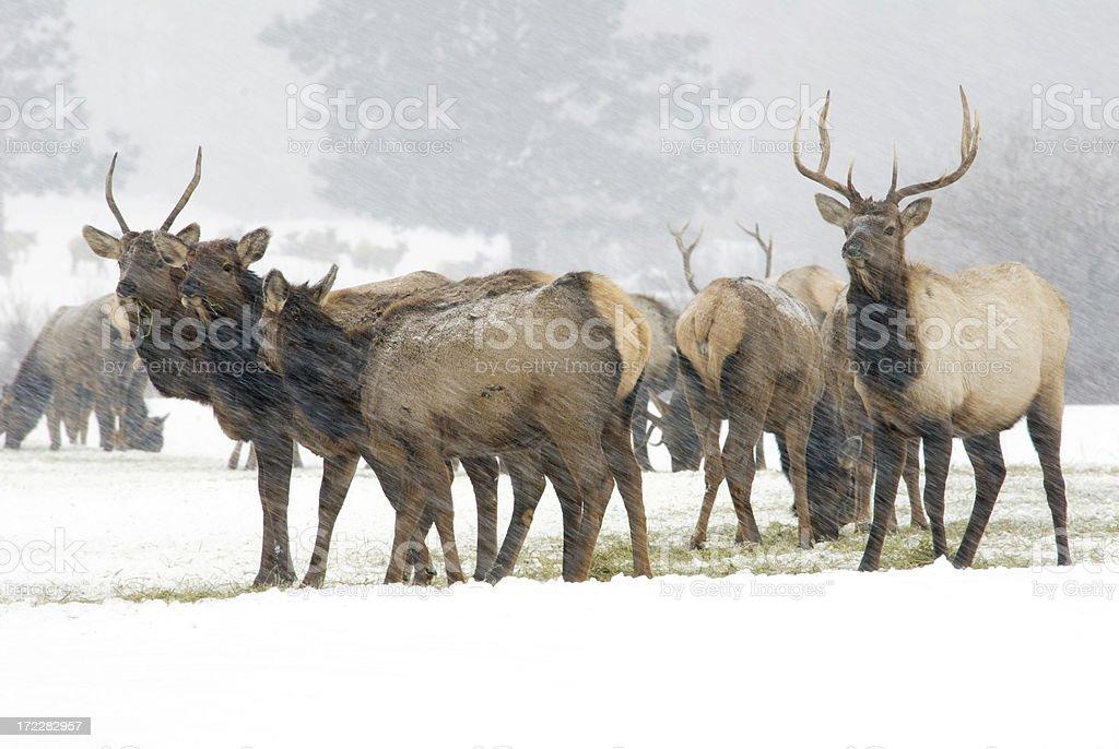 Elk in Snowstorm stock photo
