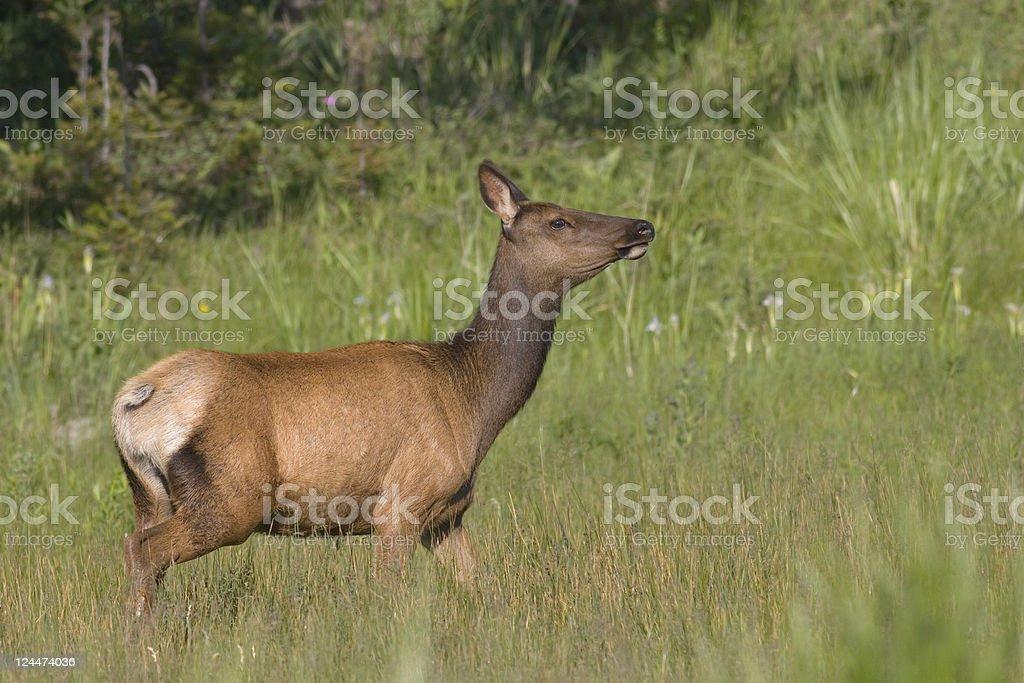 Elk in Spring Grassy Meadow stock photo