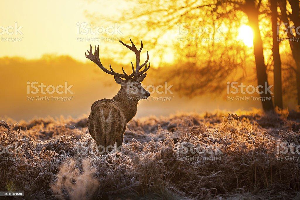 Elk in sunshine stock photo