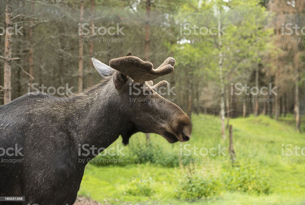 Elk in the swedish woods royalty-free stock photo