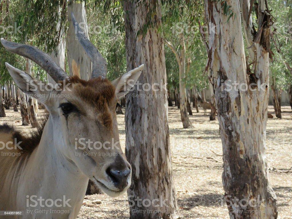elk In the wild  -Addax nasomaculatus stock photo