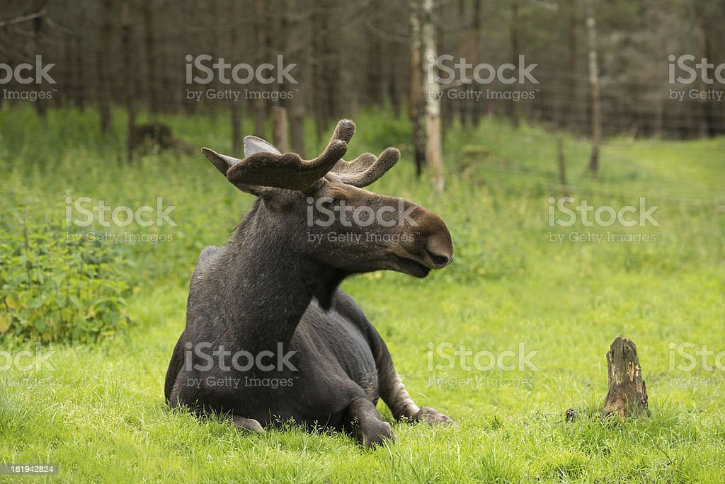 Elk in the woods royalty-free stock photo