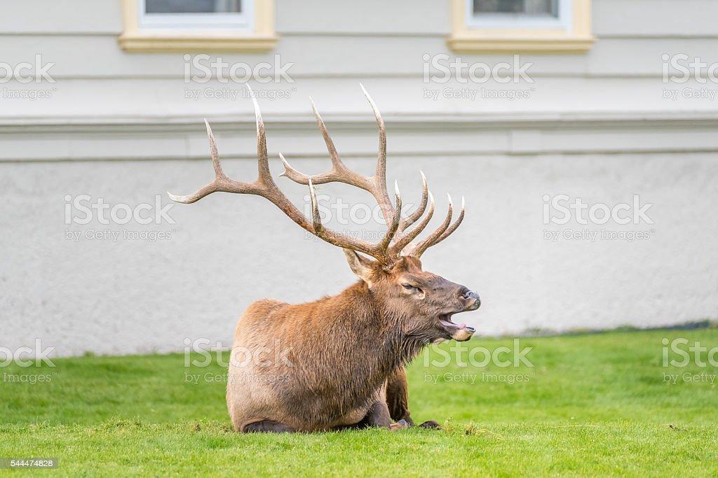 Elk in town of Mammoth Hot Springs stock photo