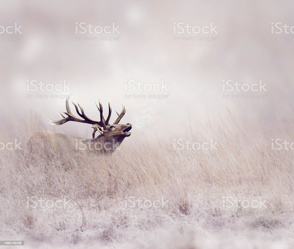 Elk in Winter stock photo
