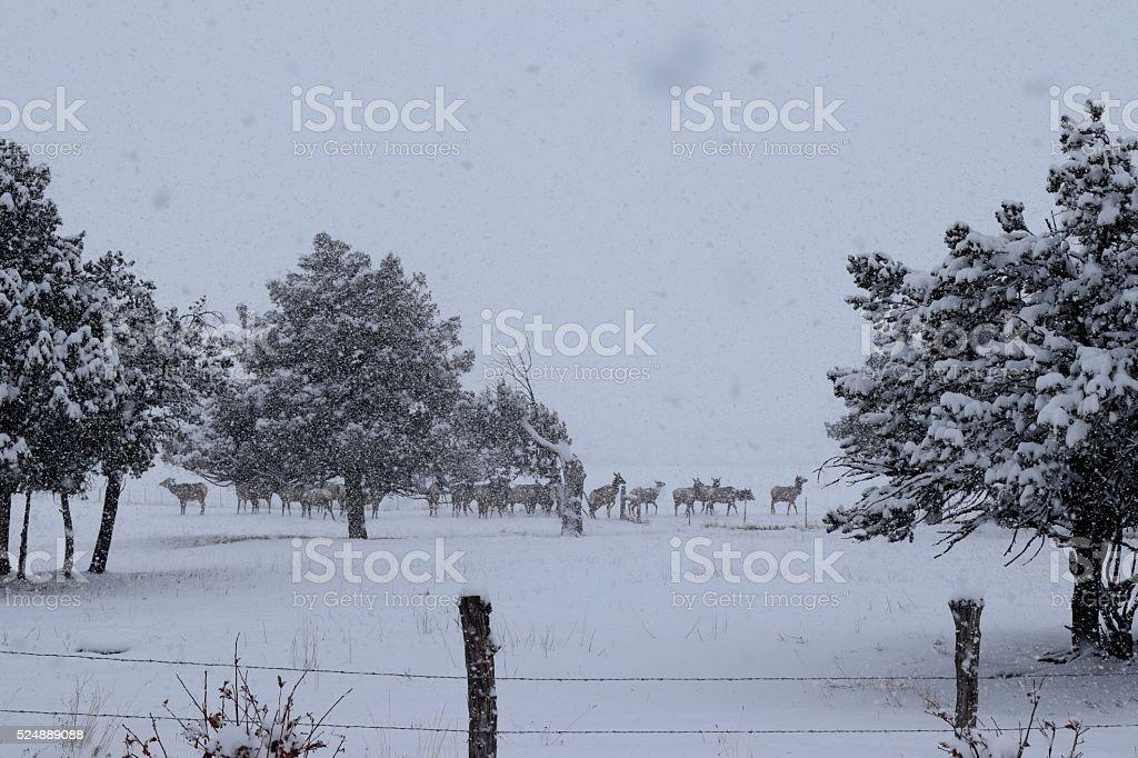 Elk in winter stock photo