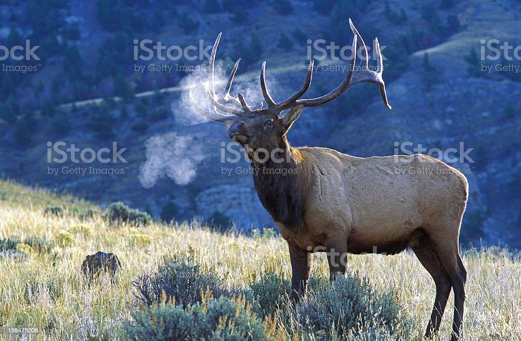 Elk Male Bugling royalty-free stock photo