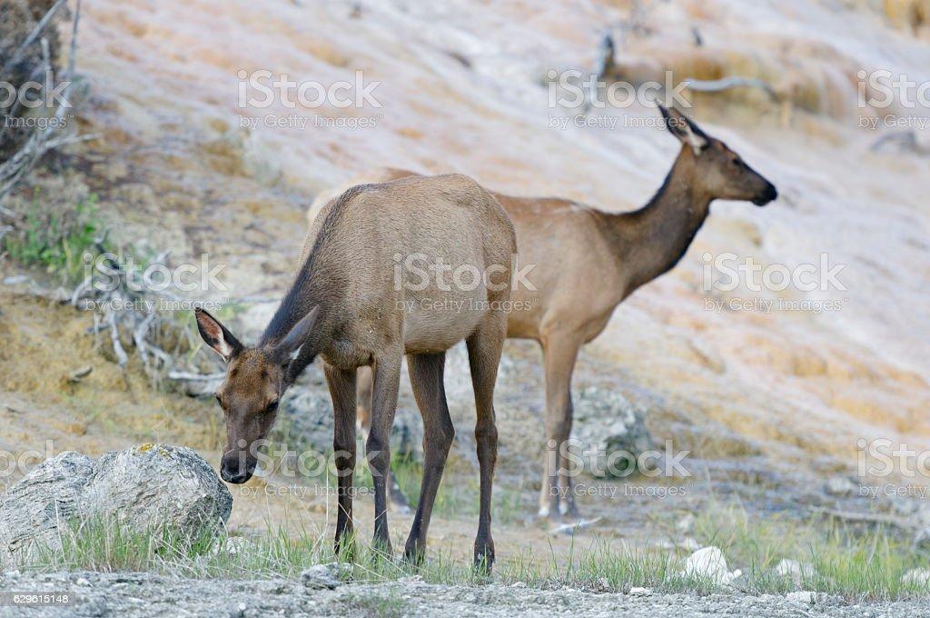 Elk, Mammoth Hot Springs, Yellowstone National Park stock photo