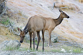 Elk, Mammoth Hot Springs, Yellowstone National Park