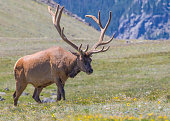 Elk of Rocky Mountains