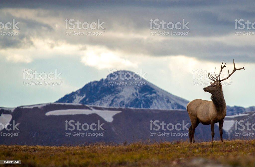 Elk on a mountain. stock photo