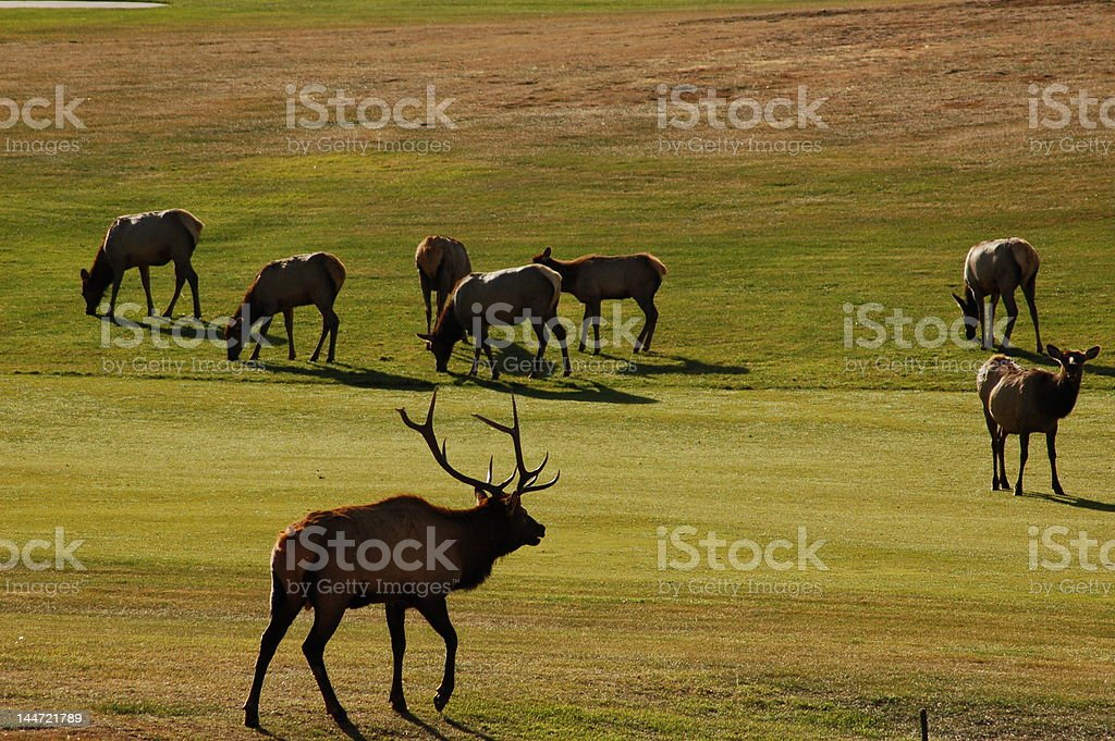 Elk on Estes Park Golf Course royalty-free stock photo