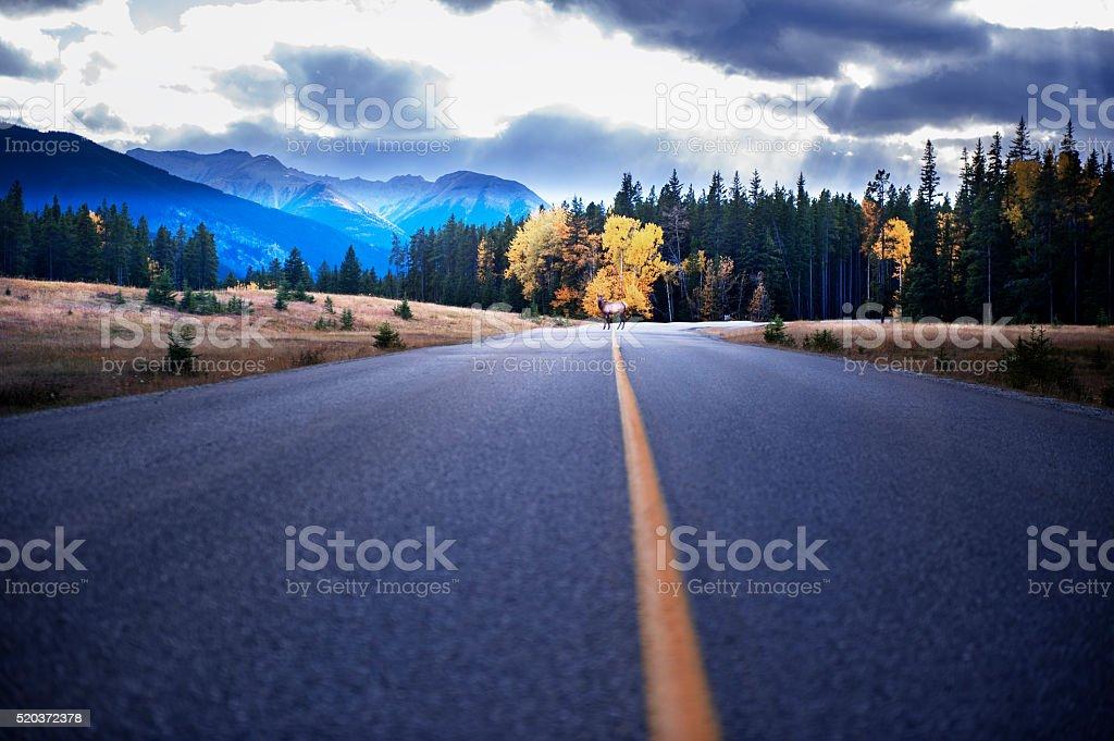 Elk on the road stock photo