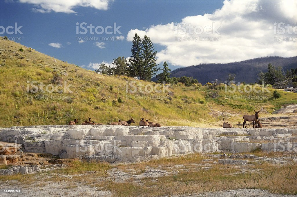 Elk on Yellowstone Mineral Deposits royalty-free stock photo