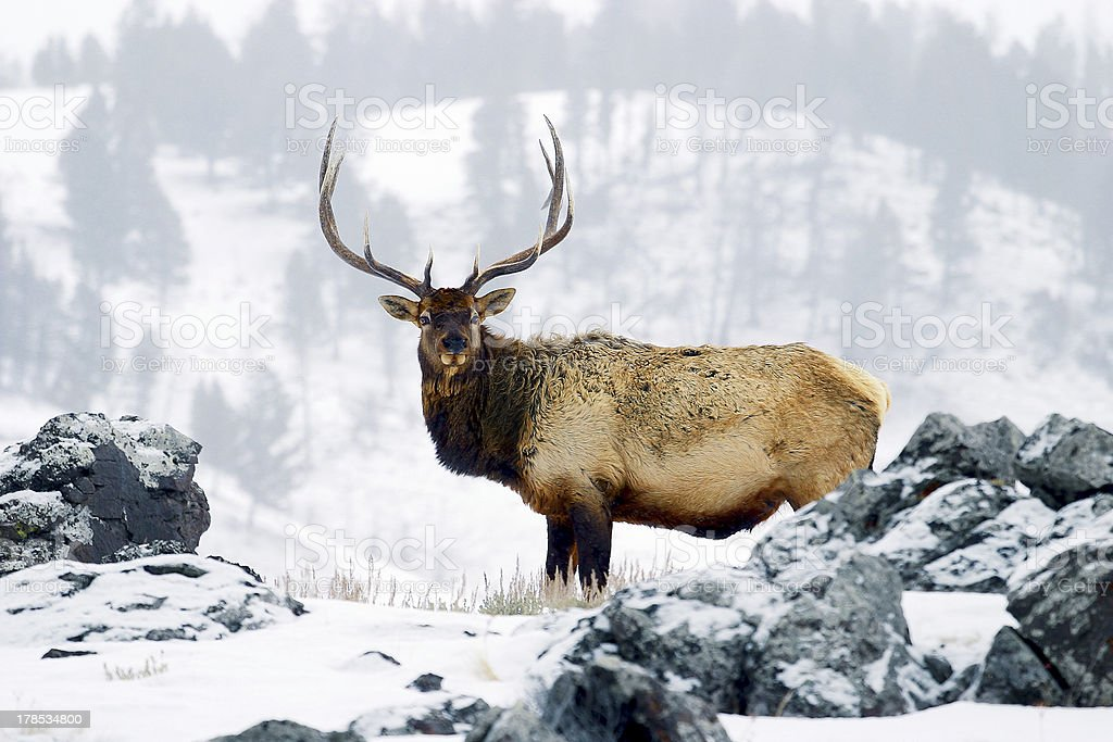 Elk or wapiti (Cervus canadensis) Yellowstone National Park, Wyoming, USA stock photo