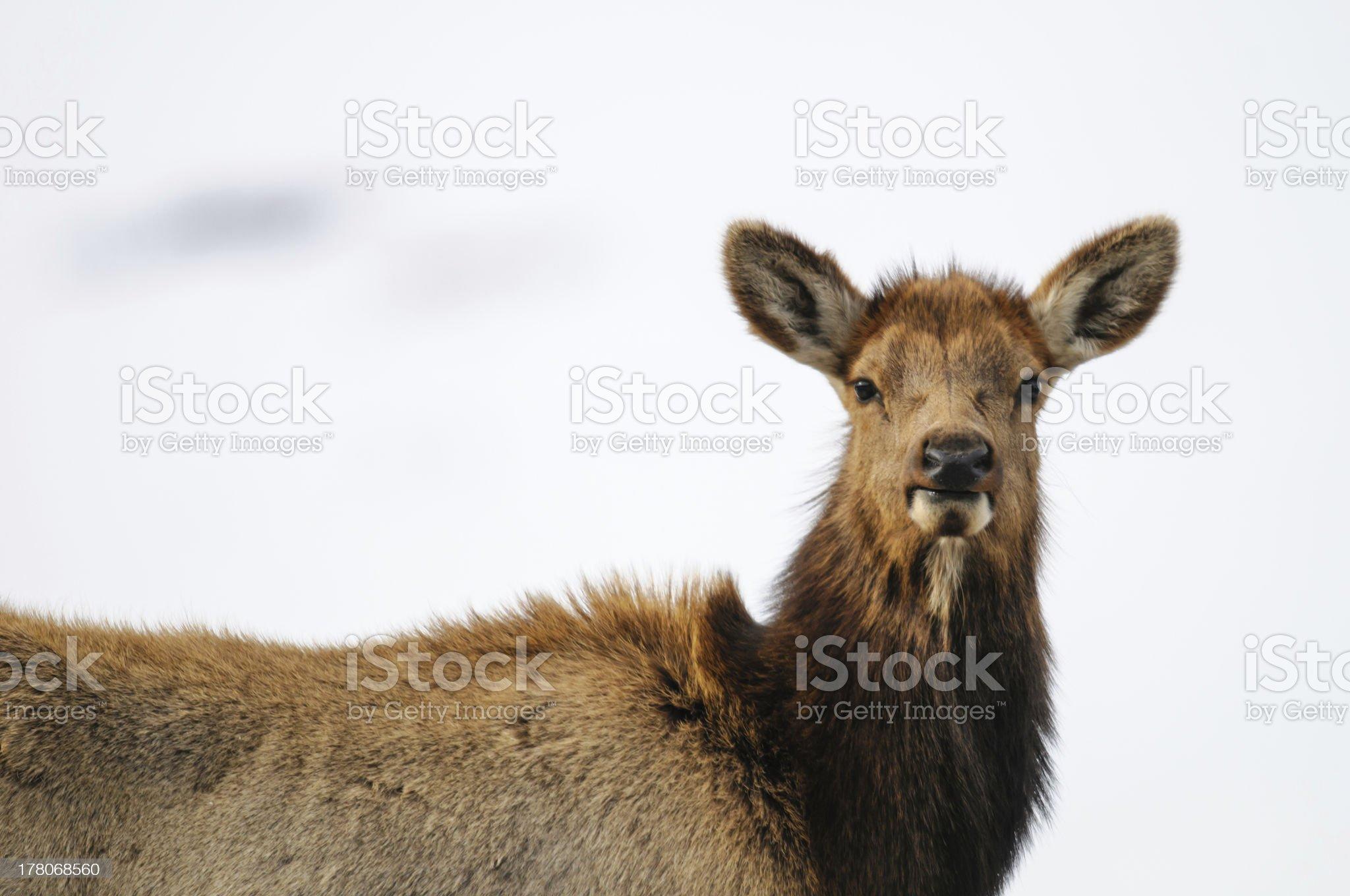 Elk  (Cervus canadensis) royalty-free stock photo