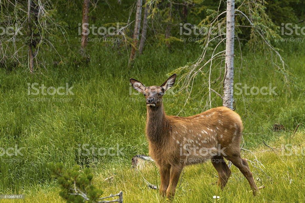 Elk stock photo