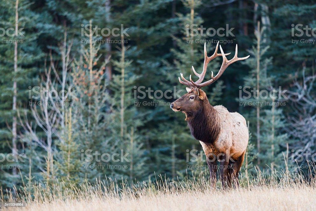 Elk  (Cervus canadensis) stock photo