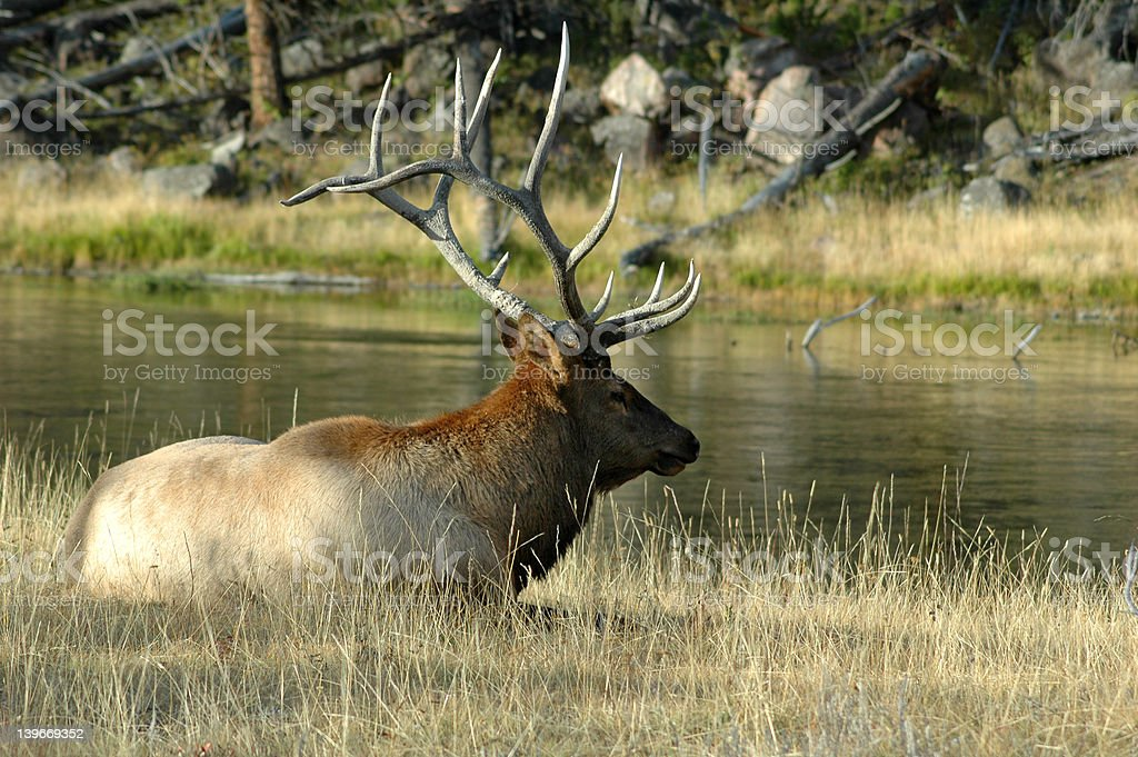 Elk Relaxing by a Stream royalty-free stock photo