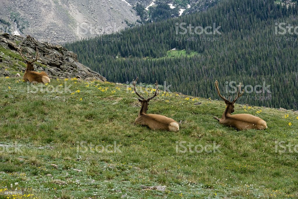 Elk Relaxing, Rocky Mountain National Park stock photo