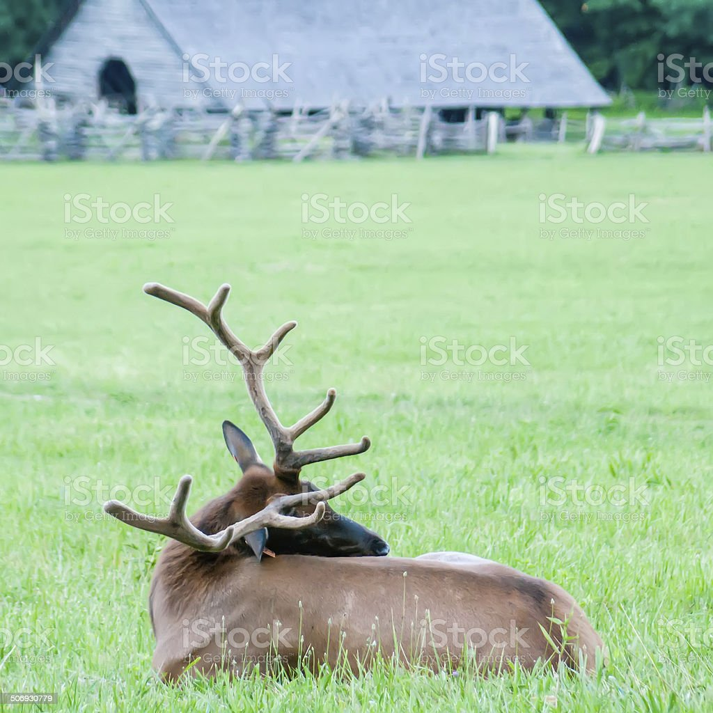 elk resting on a meadow in great smoky mountains stock photo