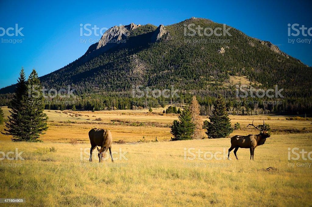 Elk, Rocky Mountain National Park stock photo