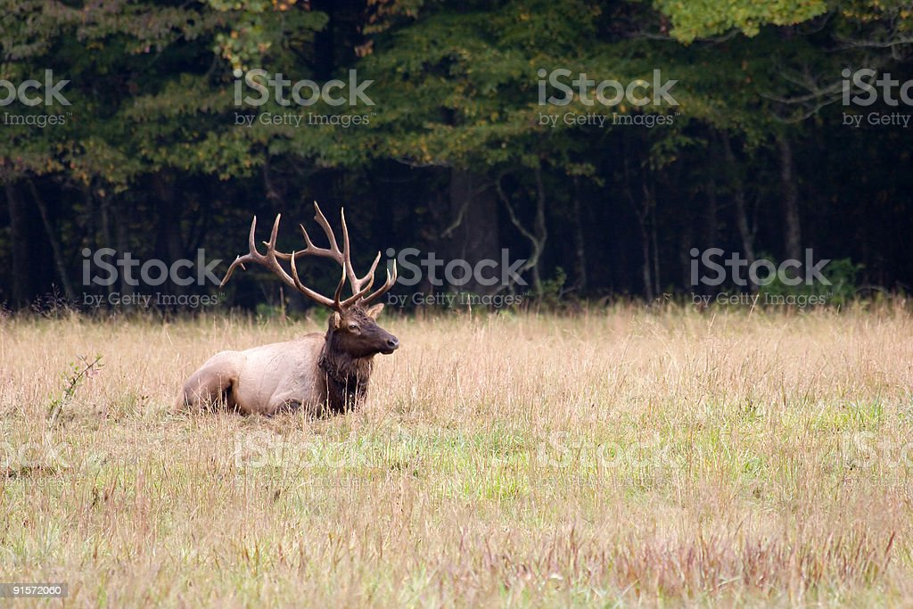 Elk Sitting in the Grass royalty-free stock photo