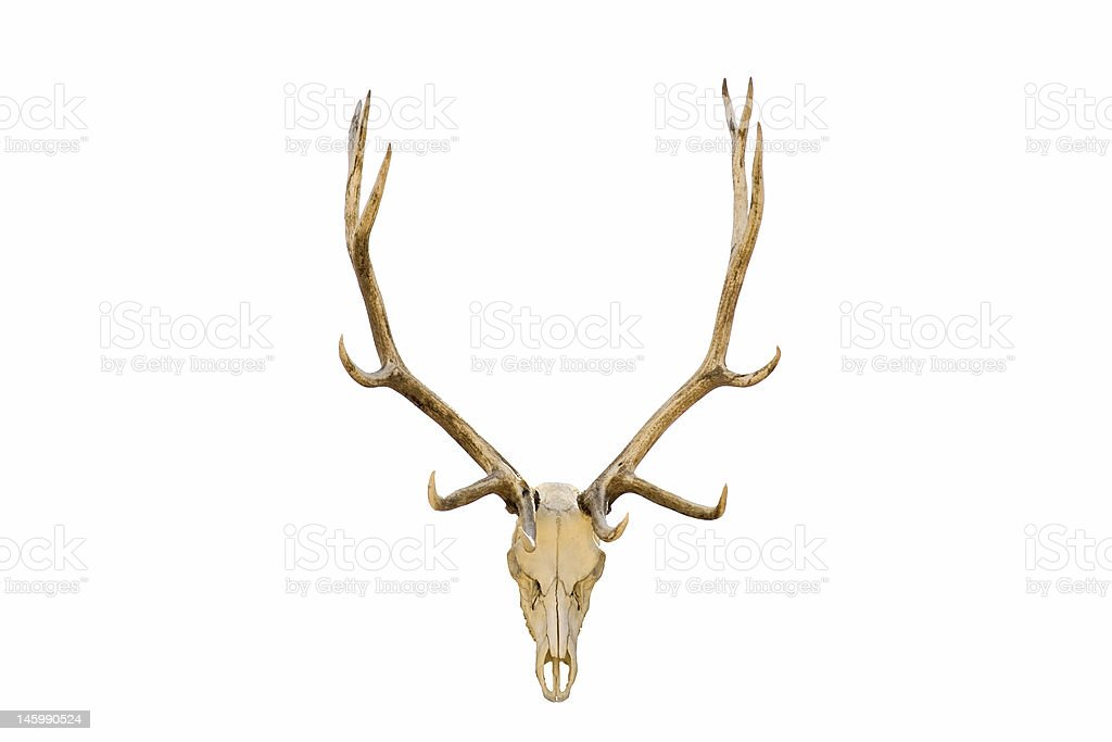 Elk skull isolated royalty-free stock photo