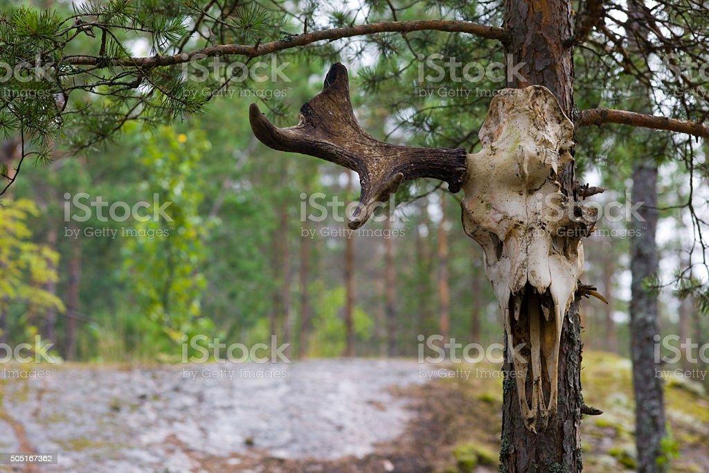 elk skull stock photo