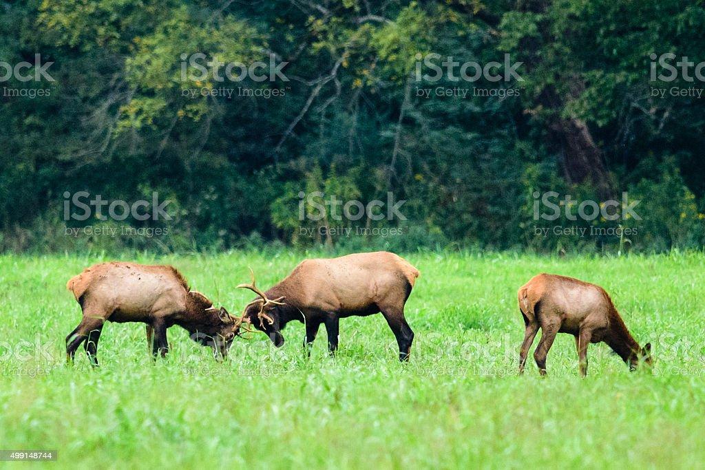 Elk sparring stock photo
