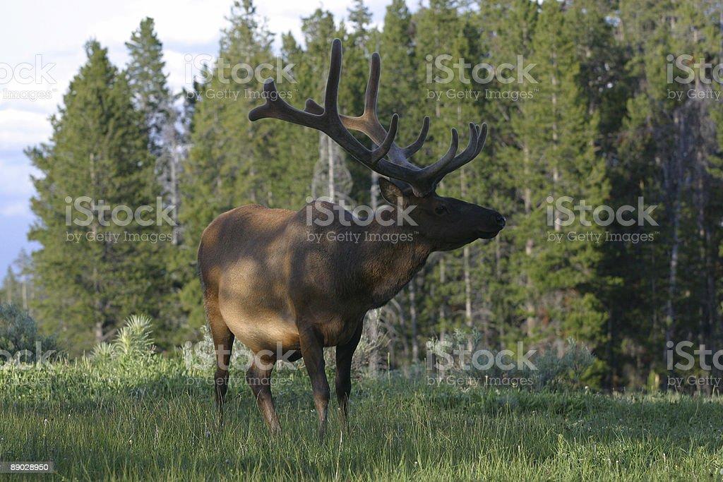Elk Stance royalty-free stock photo