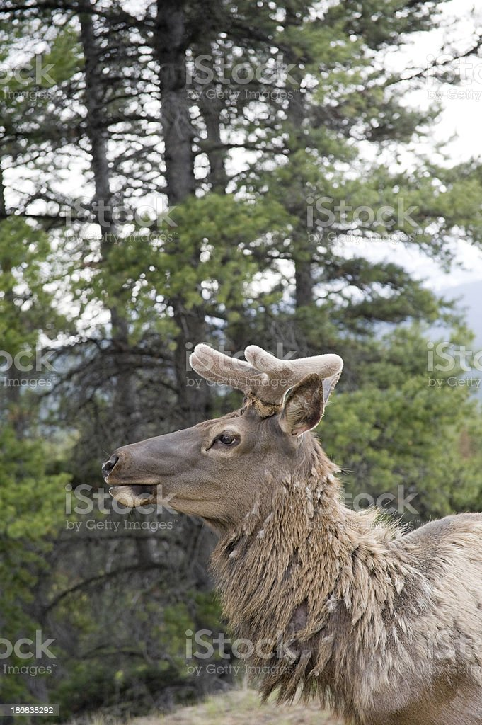 elk standing in the sun, banff national park royalty-free stock photo