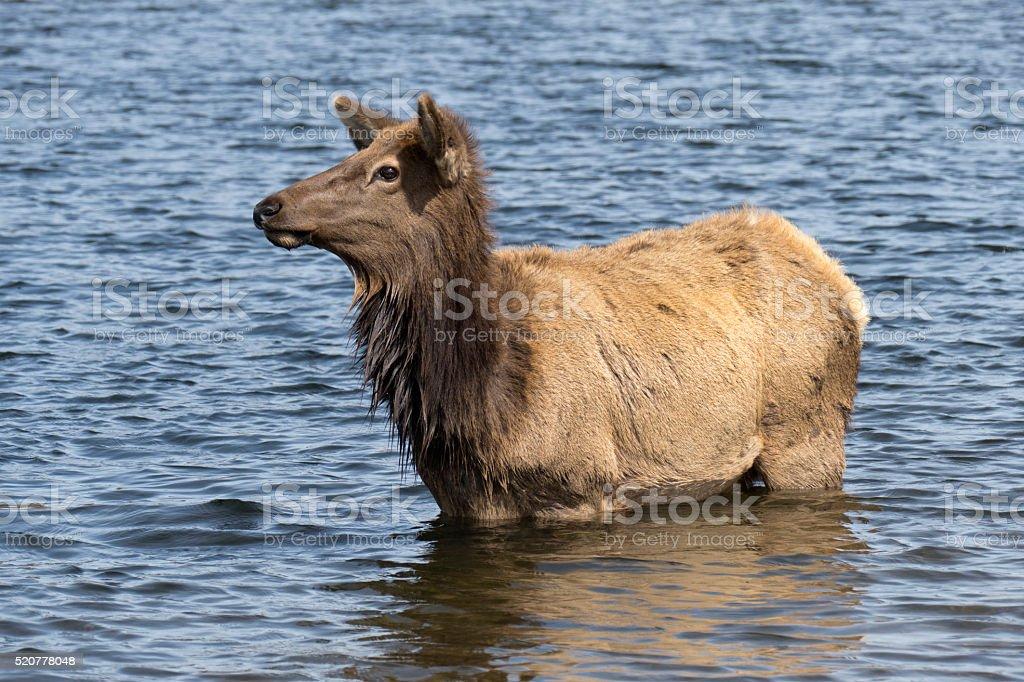 Elk wades into Lake Estes water Rocky Mountains Colorado stock photo
