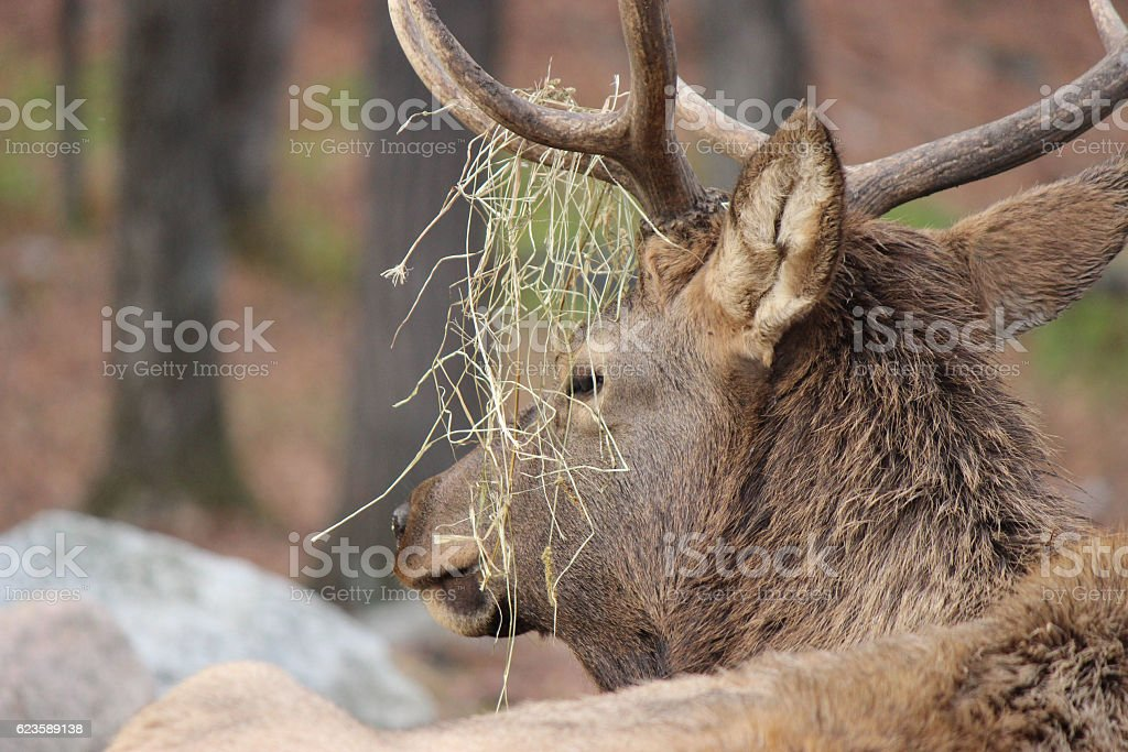 Elk with Grass Hanging From Its Antlers stock photo