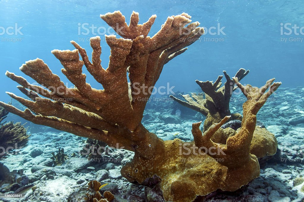 Elkhorn coral (Acropora palmata) stock photo