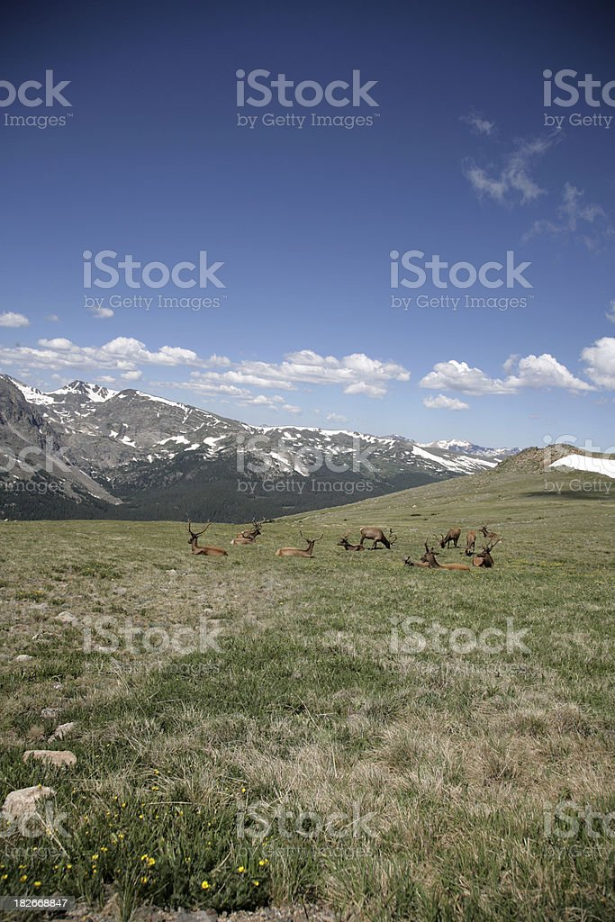 Elks in the Rockies (two of 2) stock photo