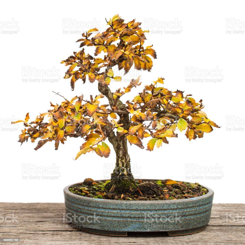 Elm (Zelkova nire) as bonsai tree with autumn colouring stock photo