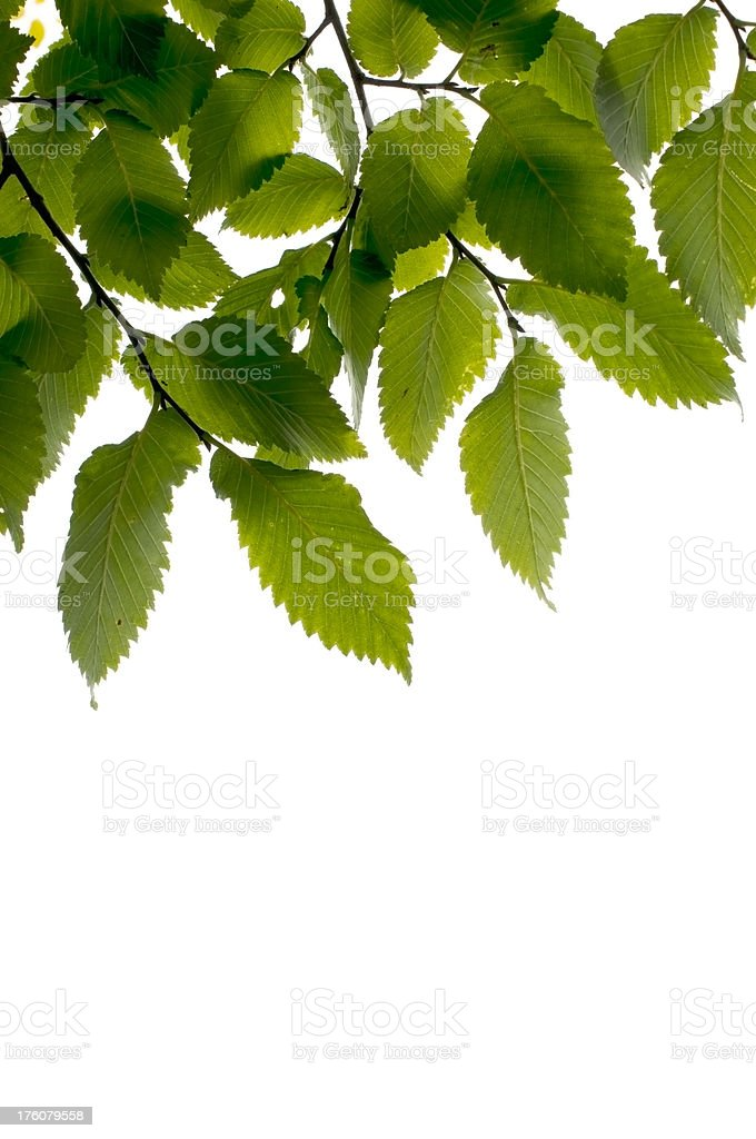 Elm branches and leaves isolated on white royalty-free stock photo