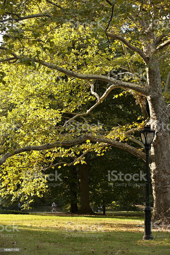 Elm in Central Park royalty-free stock photo