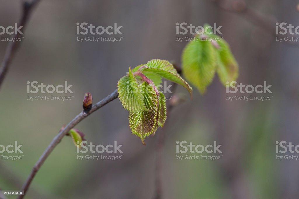 Elm in Springtime stock photo