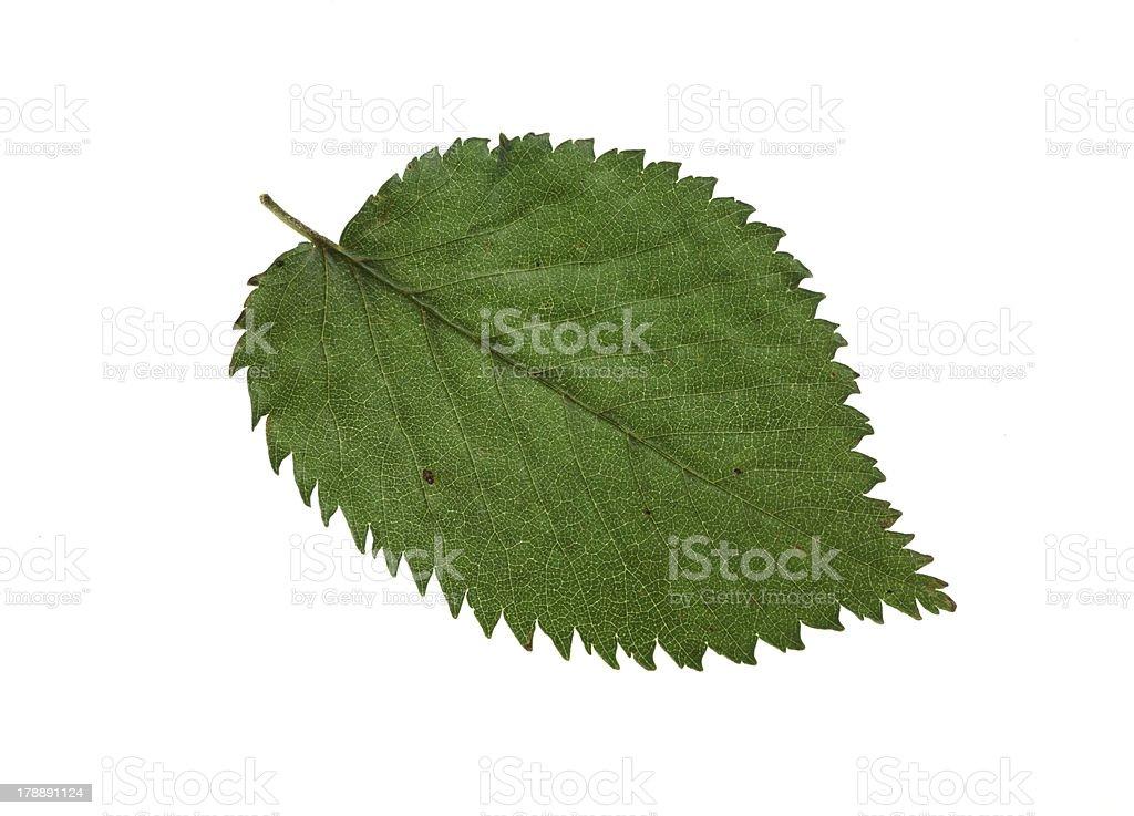 elm leaf stock photo