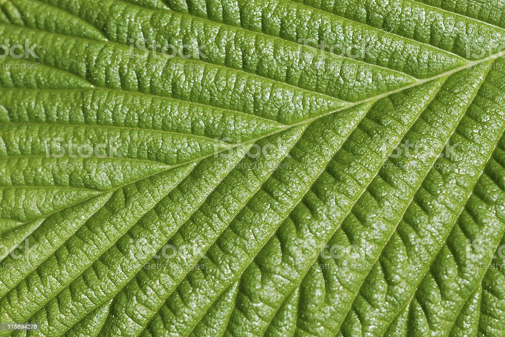 elm leaf, Ulmus glabra 'Camperdownii' stock photo