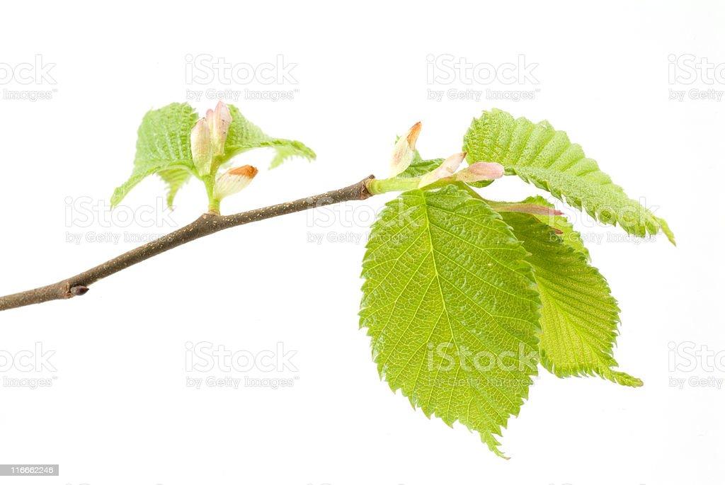 Elm Leafburst Macro royalty-free stock photo