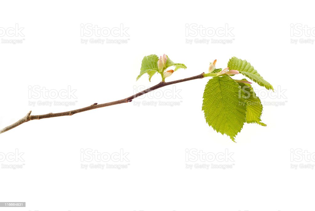 Elm Leafburst stock photo