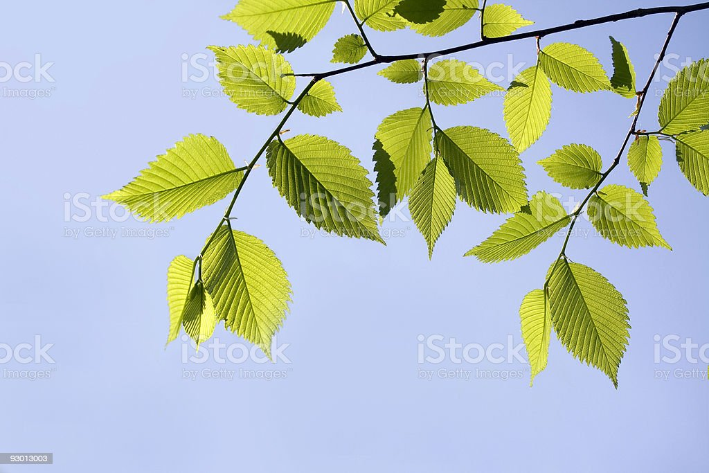 Elm leaves in spring royalty-free stock photo